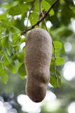 Big fruit of sausage tree (Kigelia africana). Mauritius Royalty Free Stock Photography