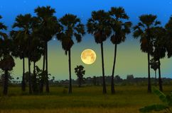 Big full moon and palms  in the winter evening. Big full moon in the frame of sugar palm trees in rice field Royalty Free Stock Image
