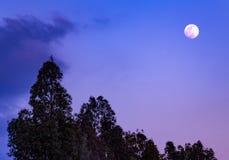 Full moon 2019 at twilight on trees silhouette
