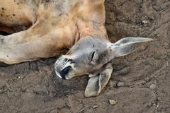 Big so funny wild red kangaroo sleeping on the ground Royalty Free Stock Image