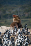 Big fur sea lion surrounded by cormorants on Beagle Channel, Pat Royalty Free Stock Photos