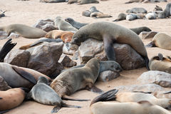 Big fur seal on a rock is comically tries to rise above others Royalty Free Stock Photography