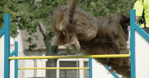 A big furr dog shows agility over the obstacle 4K FS700 Odyssey 7Q stock video