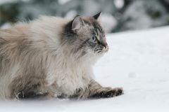 Big furry cat sneaks in the snow between the trees. Pet care Royalty Free Stock Photo