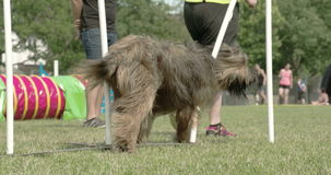 A big furry dog crossing over the obstacles 4K FS700 Odyssey 7Q stock video footage