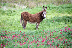 Big furry donkey. Big donkey standing sideways in the beautiful green meadow with flowers and looking to the camera Stock Photos