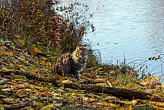Gray fluffy cat sitting on the lake shore. Big furry gray cat sitting on the lake in an autumn park Royalty Free Stock Photo