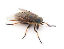 Big gadfly. Stock Photo