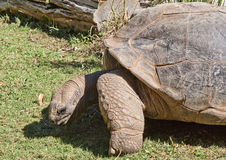 Big galapago tortoise on a park. Picture taken while visiting the zoo in Atlanta. The Galápagos tortoise or Galápagos giant tortoise (Chelonoidis nigra) is the Stock Photo