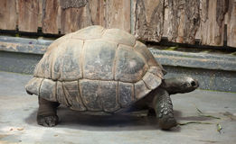 Big Galapagos tortoise Royalty Free Stock Image