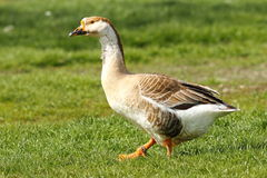 Big gander on lawn Stock Photography