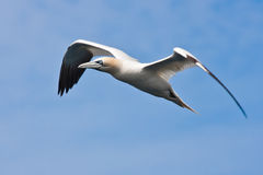 Big Gannet flying in the blue sky Royalty Free Stock Photo