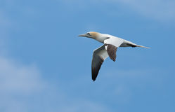 Big gannet (Morus bassanus) Royalty Free Stock Photos