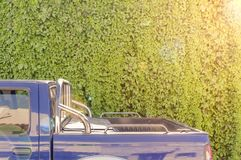 Big garden ivy texture wall with back of van car and sun lens flare. Natural background Royalty Free Stock Images
