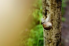 Big garden snail on the wet wooden texture Stock Image