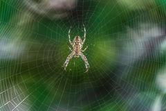 Big Garden-spider araneus in the center of web. Cobweb with spider. Big Garden-spider araneus in the center of web. Natural background with green bokeh. Cobweb Royalty Free Stock Image