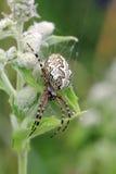 A big garden spider Stock Image