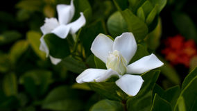 Big Gardenia Blooms Royalty Free Stock Photography
