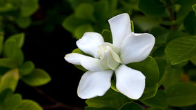 Big Gardenia Blooms Royalty Free Stock Image