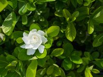 The Big Gardenia Flower. In Sunny Day royalty free stock photos
