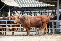 Big gaur Stock Photo
