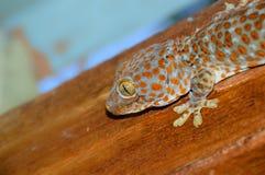 Big Gecko. A Tokay / Tokeh / Tokee Gecko climbing around the roof Royalty Free Stock Photography