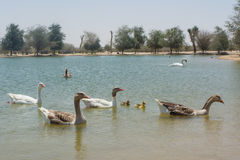 Big geese family enjoying bathing in lake Royalty Free Stock Images