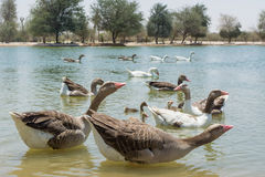 Big geese family swimming in the lake Stock Images