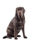Big gentle chocolate labrador retriever Stock Photography