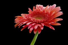 Big gerbera Stock Photo