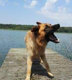 Big german Dog Stock Photography