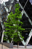 The big gherkin on the tree Royalty Free Stock Photography