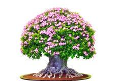 The big giant azalea Royalty Free Stock Photo