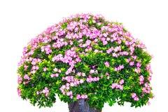The big giant azalea Stock Image