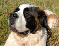 Saint Bernard in Grass. Portrait of purebred mastiff saint bernard: beautiful giant dog Stock Photo