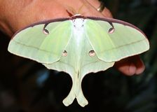 A big Giant Silk Moth butterfly, Luna Moth Royalty Free Stock Photo