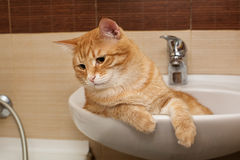 Big ginger cat g in  sink Stock Images