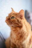 A big ginger cat. Large red cat with big eyes stares up Stock Images