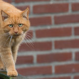 Big ginger cat walking on  fence. Big ginger cat with ling whiskers walking on wooden fence Royalty Free Stock Photo