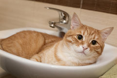 Big ginger cat in a white sink Stock Photo