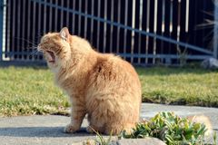 Big ginger cat yawns Royalty Free Stock Photos