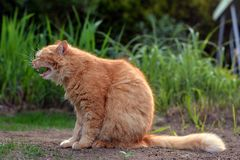 Big ginger cat yawns in nature Stock Photo