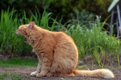 Big ginger cat yawns in nature. Big funny ginger cat yawns in nature Stock Photography