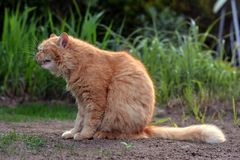 Big ginger cat yawns in nature Stock Images