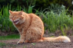 Big ginger cat yawns in nature Stock Photography