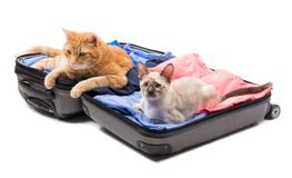 A big ginger tabby cat and a Siamese kitten lying on an open luggage Royalty Free Stock Image