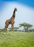 Big giraffe Royalty Free Stock Photography