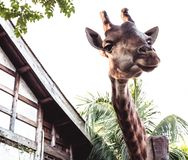 Big giraffe near the wooden house royalty free stock images