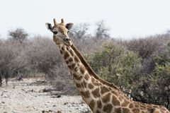 Big Giraffe walking out of the bush. An African giraffe is walking out of the bush and looking across the photo Stock Images