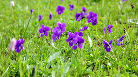 Big glade with blossoming violets stock video